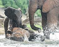 Baby elephant playfully climbs onto young elephant that is splashing at the edge of the Chobe River, Chobe National Park, Botswana, © David A. Ponton