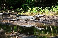 Alligator In The Sun