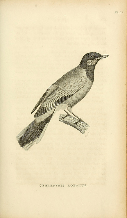 Ceblepyris lobatus from volume XIII (Aves) Part 2, of 'General Zoology or Systematic Natural History' by British naturalist George Shaw (1751-1813). Griffith, Mrs., engraver. Heath, Charles, 1785-1848, engraver. Stephens, James Francis, 1792-1853 Published in London in 1825 by G. Kearsley
