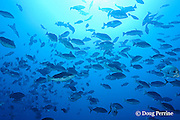 spawning aggregation of Nassau groupers, Epinephelus striatus ( Endangered Species ), with males in bicolor phase, Lighthouse Reef Atoll, Belize, Central America ( Caribbean Sea )