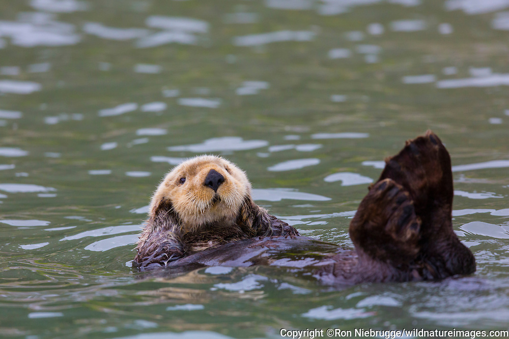 Sea Otter (Enhydra lutris) off shore from Lake Clark National Park, Cook Inlet,  Alaska.