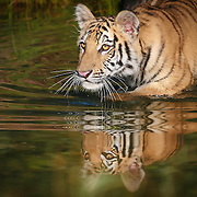 Bengal tiger cub reflected while wading in pond. Photographed in naturalistic habitat, controlled conditions. Finalist in Exotic Wildlife contest by ViewBug creative community, 2015.