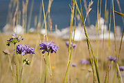 Scabious flowers and summer grasses above Anvil Point Lighthouse, Dorset, UK.