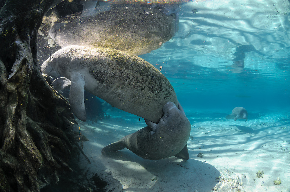 Florida manatee, Trichechus manatus latirostris, a subspecies of the West Indian manatee, endangered. A male calf engages in intimate play with its own mother. This behavior is thought to  be a signal to the mother it is time to wean her calf. Another manatee swims in the background. Horizontal orientation with blue water, warming sun rays, tree roots and reflections. Three Sisters Springs, Crystal River National Wildlife Refuge, Kings Bay, Crystal River, Citrus County, Florida USA.