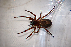 © Licensed to London News Pictures.  06/11/2013. OXFORDSHIRE, UK. <br /> <br /> Close up of a false widow spider (best quality available).<br /> <br /> Nursery manager Vicki White (not pictured) found the spider in the bathroom of her Chalgrove home after returning from holiday. After safely trapping it in a milk bottle she has added it to the family's large collection of animals. Vicki and her children own three dogs, four cats, two micro pigs, two giant tortoises, four turtles, two rats and one spider.   <br /> <br /> Photo credit: Cliff Hide/LNP