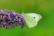 Large White Butterfly (Pieris brassicae) feeding on buddleia flowers, Oxfordshire, UK.