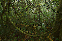 A swirl of lianas (woody vines) in the rain forest interior in the Caldera on Bioko Island.