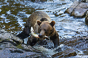 Grizzly Bear fishing, Tongass National Forest, Alaska