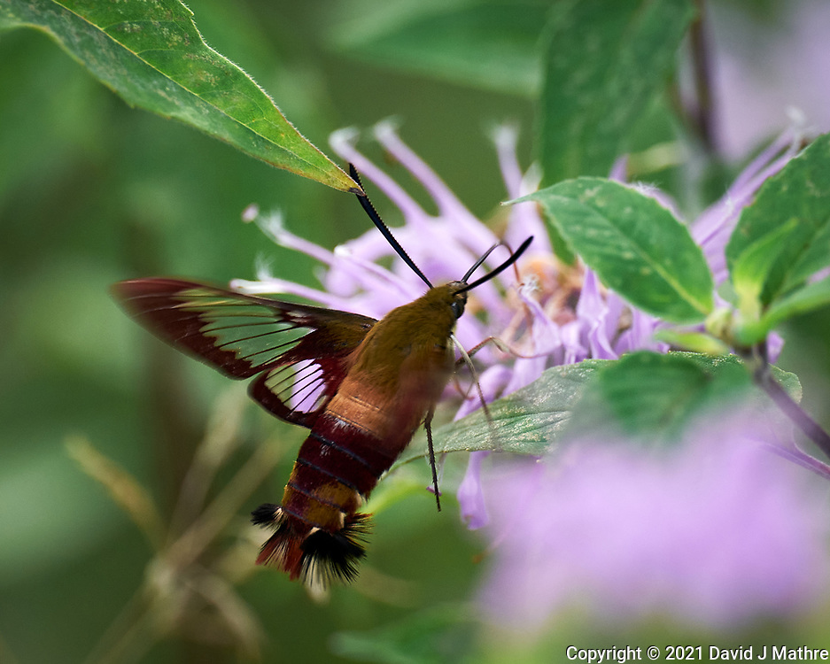 Hummingbird Clearwing Moth (Hemaris Thysbe) feeding on a Bee Balm flower.Image taken with a Leica SL2 camera and 90-280 mm lens.