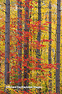 64776-01407 Red tree and fall color Schoolcraft County Upper Peninsula Michigan