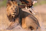 Löwen (Panthera leo) des Lufupa Prides in der Umgebung des Lufupa Camps im Kafue Nationalpark in Sambia beim Übergang zwischen Trockenzeit und Regenzeit.