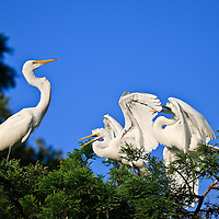 Wild fledgling great egret (Ardea alba) siblings beg and jockey for position in reaction to a returning parent, St. Ausgustine Alligator Farm Rookery, Anastasia Island, St. Augustine, Florida.