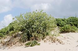 Echte kruisdistel, Eryngium campestre