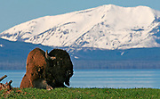 Bison (Bison bison) rests in front of a mountain lake.  Yellowstone NP, USA