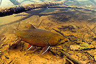 Brook Trout (Spawning Male)<br />