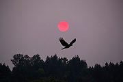 As the sun rises through thick haze caused by extensive wildfires, an American crow (Corvus brachyrhynchos) flies over its roost in Bothell, Washington. At times of the year, up to 15,000 crows use the roost.