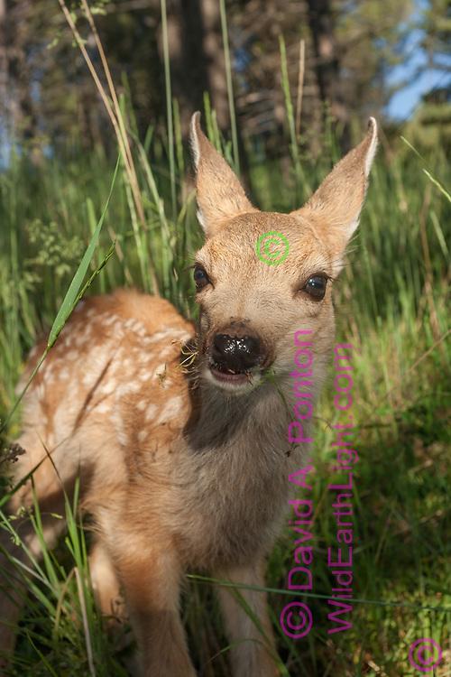 Mule deer fawn face-on portrait in mountain meadow, Montana, © David A. Ponton