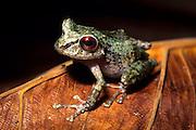 Cedros treefrog (Hyla sp.) photographed in the Los Cedros Biological Reserve, Ecuador.