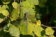 Southern Hawker - Aeshna cyanea - male