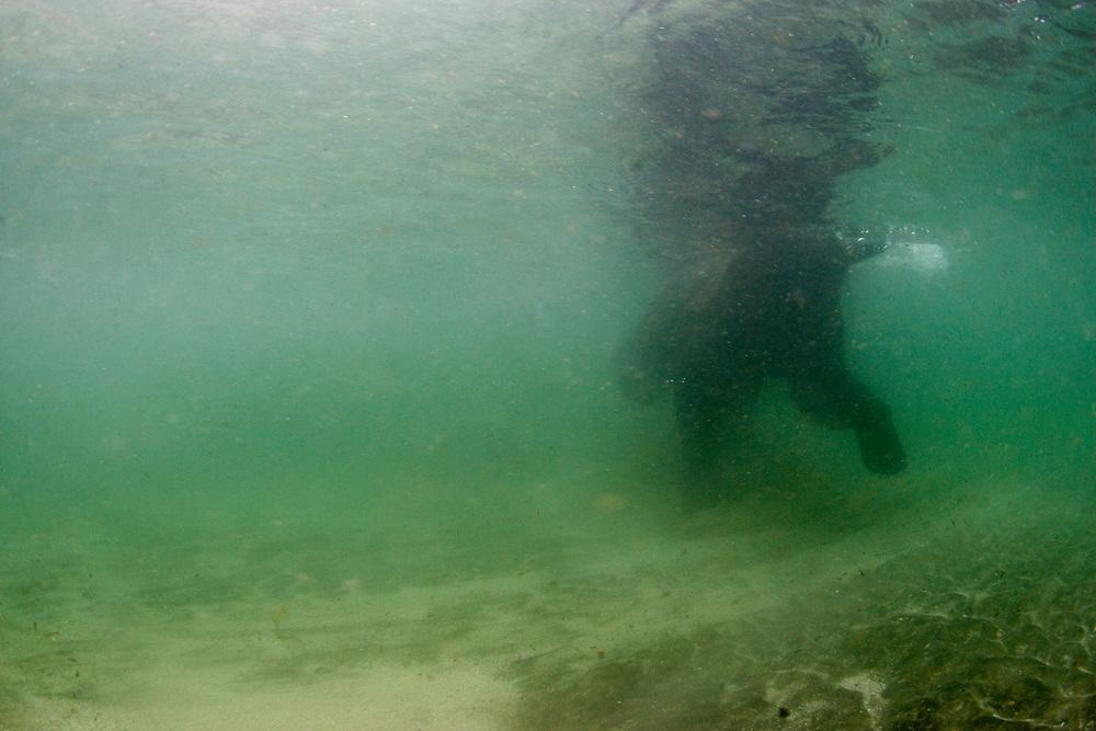 USA, Alaska, Katmai National Park, Kinak Bay, Underwater view of Brown Bear (Ursus arctos) swimming through salmon spawning stream on autumn afternoon