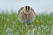 The Common Snipe (Gallinago gallinago), also called a Fantail Snipe, European Sandpiper, or weet-weet, is a small, stocky shorebird.