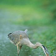 Great Blue Heron, (Ardea herodias) Portrait of bird foraging in freshwater pond.
