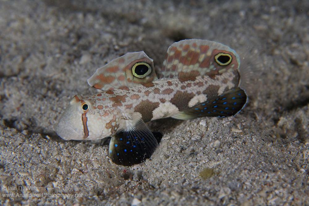Twinspot Goby (Signigobius biocellatus) - Milne Bay, PNG