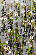 Bog Bean (Menyanthes trifoliata) growing in pond in Wrangell-St. Elias National Park in Southcentral Alaska. Summer. Afternoon.