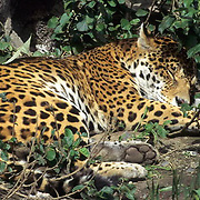 Jaguar, (Panthera onca) Inhabits the rainforest of Central and South America. Sleeping.  Captive Animal.