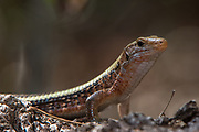 Plated lizard (Zonosaurus laticaudatus)<br /> Ampijoroa<br /> Ankarafantsika Nature Reserve<br /> West Madagascar<br /> MADAGASCAR<br /> ENDEMIC