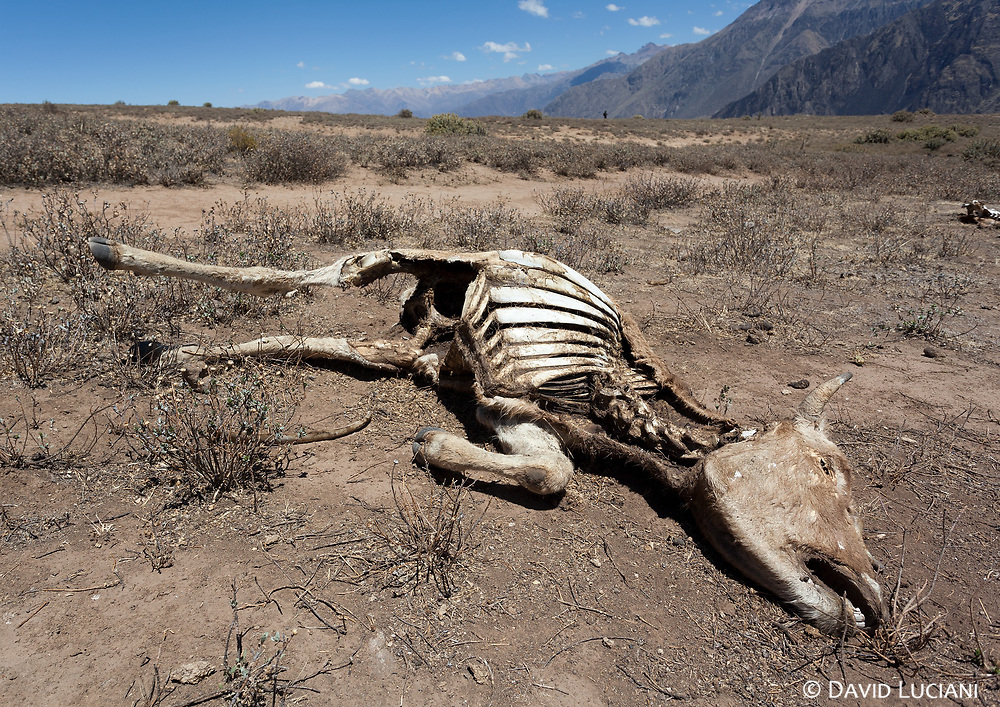 Remainings of a cow after beeing eaten by condors.