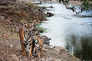 Young tiger cub greets its mother next to a large water hole (Panthera tigris tigris), Ranthambhore National Park, Rajasthan, India,