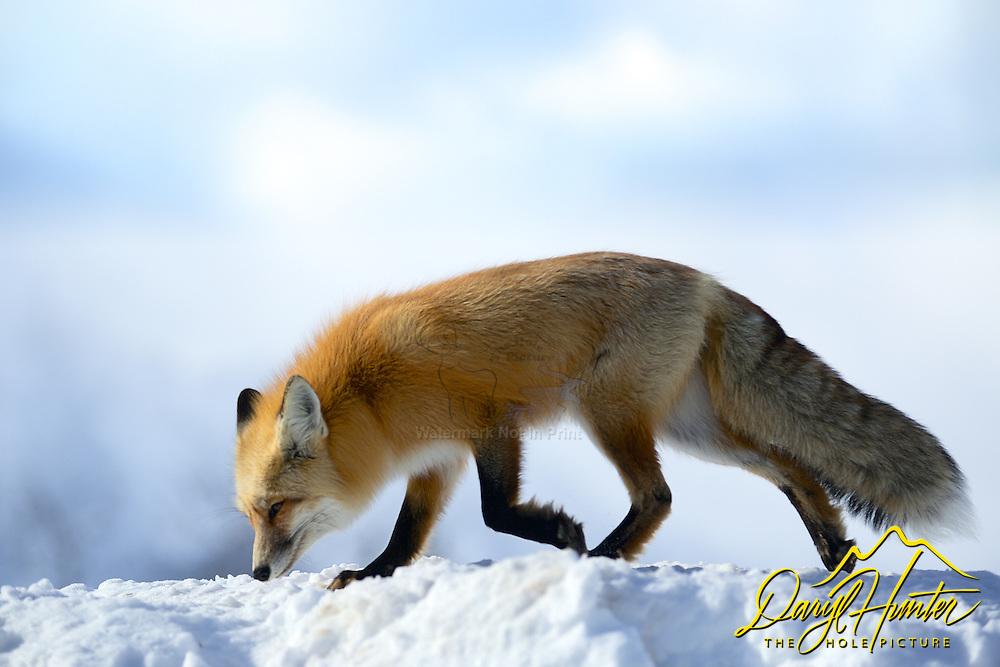 A red fox walks across snowy ridge in Grand Teton National Park.