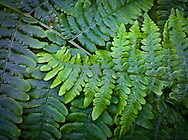 Bracken Fern fronds close