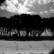A collection of select images available for personal print. Subjects vary and gallery is updated regularly. Along the coastline of Ft. Fisher State Park in North Carolina you'll find the remnants of a Live Oak and Yaupon forest. According to ncparks.gov, these visibly twisted trees are salt-tolerant, growing to no more than 30 feet and shaped by wind and sea spray.