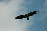 Eagle in flight over Bombay Hook NWR
