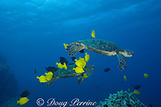 green sea turtles ( Chelonia mydas ) being cleaned by herbivorous fish that graze algae off of turtle's shell, at cleaning station, Kona, Hawaii ( Central Pacific Ocean ); cleaner fish are yellow tangs ( Zebrasoma flavescens ) and gold-ring surgeonfish ( Ctenochaetus strigosus )