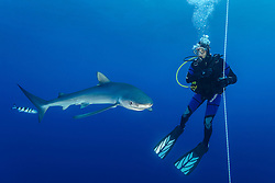 Prionace glauca, Blauhai und Taucher, Blue Shark and scuba diver, Pico, Azoren, Atlanik, Azores, Atlanic Ocean