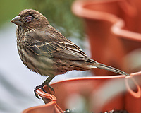 House Finch. Image taken with a LeicaSL2 camera and Sigma 150-600 mm sport lens.