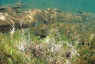 Bluegill Sunfish prepaing spawning bed<br /> <br /> ENGBRETSON UNDERWATER PHOTO