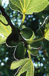 Ficus 'Brunswick' - Fig