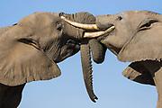 African Elephant<br /> Loxodonta africana<br /> Clashing tusks in conflict<br /> Mashatu Game Reserve, Botswana