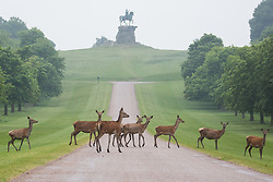 Windsor, UK. 29th May, 2018. Red hinds cross the Long Walk in Windsor Great Park. There is a herd of around 500 red deer within the deer park enclosure in Windsor Great Park, all descended from forty hinds and two stags introduced in 1979 by the Duke of Edinburgh.
