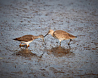 Greater Yellowlegs and Willet. Biolab Road, Merritt Island National Wildlife Refuge. Image taken with a Nikon D3x camera and 300 mm f/4 lens (ISO 100, 300 mm, f/4, 1/1000 sec).