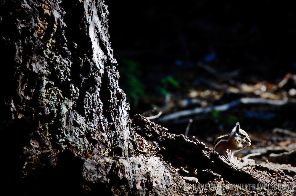 Chipmunk on forest floor
