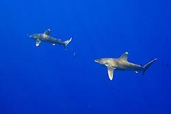 A pair of Oceanic Whitetip Sharks, Carcharhinus longimanus, and Pilot Fish, Naucrates ductor, off Kona Coast, Big Island, Hawaii, Pacific Ocean.