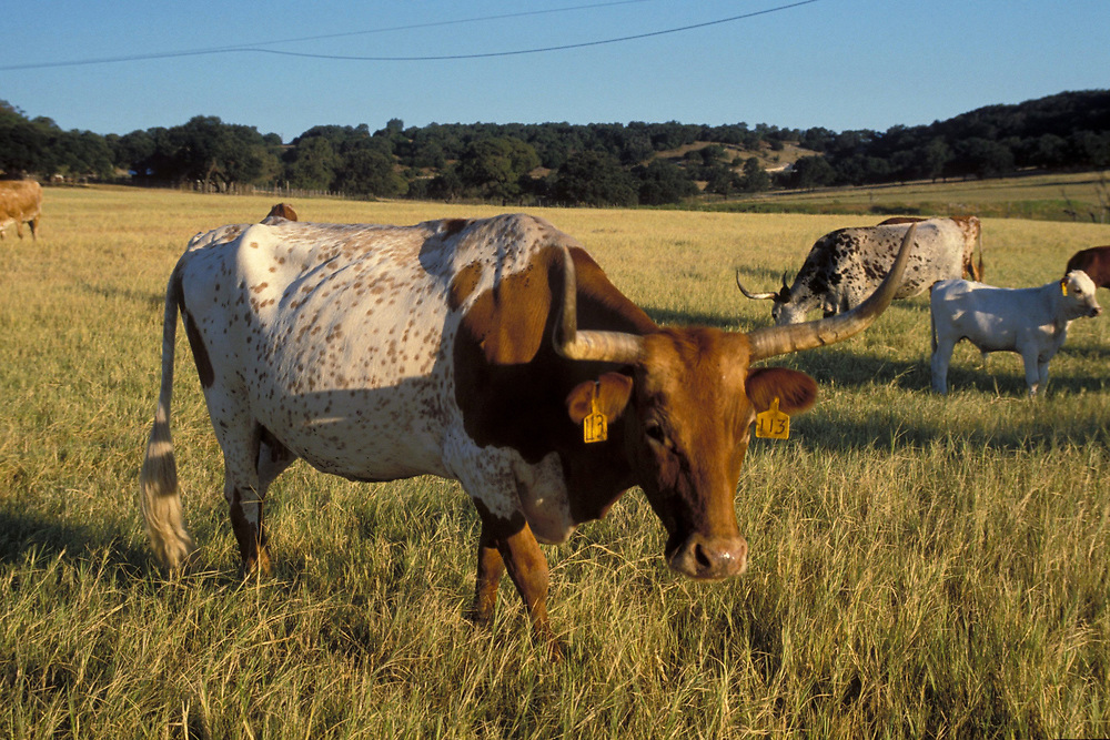Texas Longhorn cattle at sunset grazing on grass at Stonewall, Texas ranch land.  Property Release.<br /> ©Bob Daemmrich