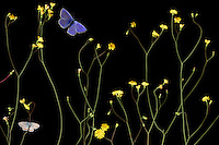 Nipplewort, Lapsana communis, with Escher's Blue butterfly, Polyommatus escheri, and Silver-studded Blue, Plebejus argus, Stenje  region, Lake Macro Prespa (850m) <br /> Galicica National Park, Macedonia, June 2009<br /> Mission: Macedonia, Lake Macro Prespa /  Lake Ohrid, Transnational Park<br /> David Maitland / Wild Wonders of Europe