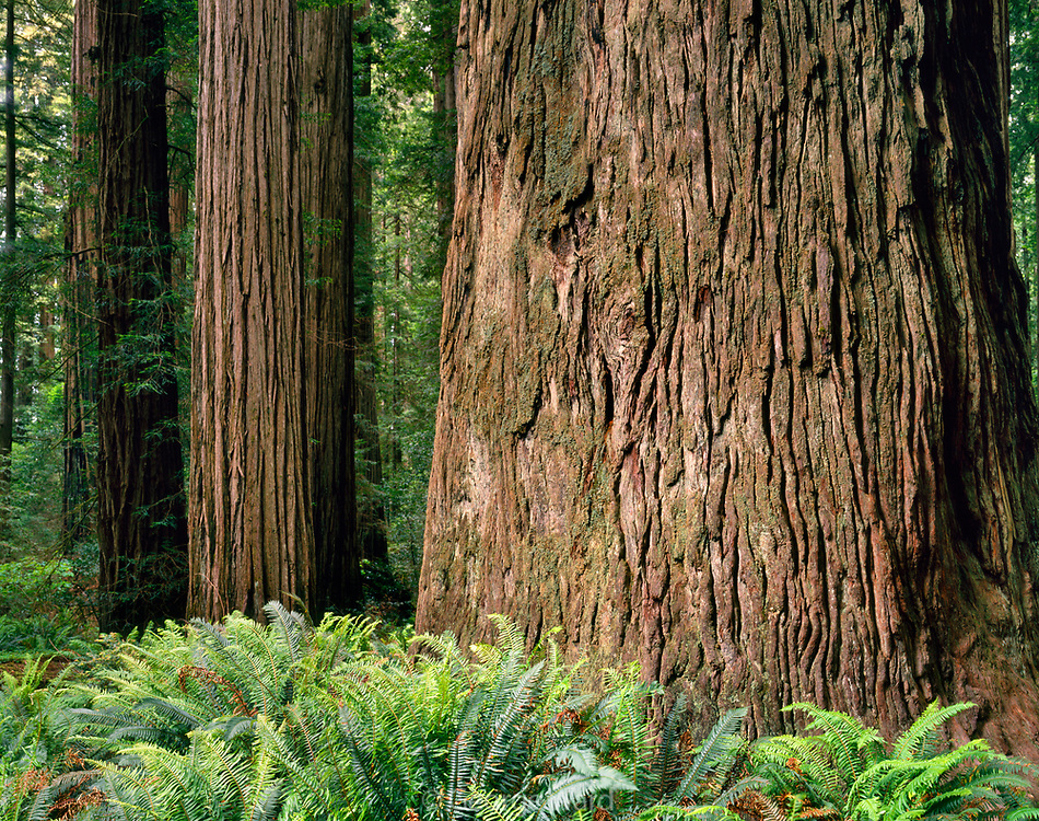 Stout Redwood <br /> in Stout Grove,<br /> Redwood National Park, California