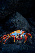 A Sally Lightfoot crab on volcanic rock, North Seymour Island, Galapagos, Ecuador, South America